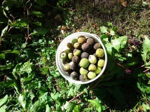 Harvesting walnuts
