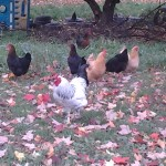 Chickens near the kids play area in the fall