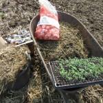 Preparing to transplant tomatoes