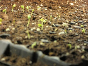 Seedlings are sprouting