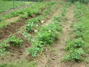Hilled potatoes