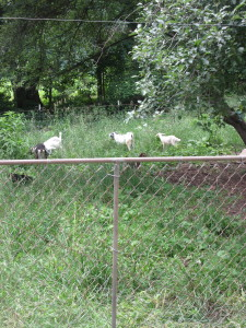 Goats in new pen
